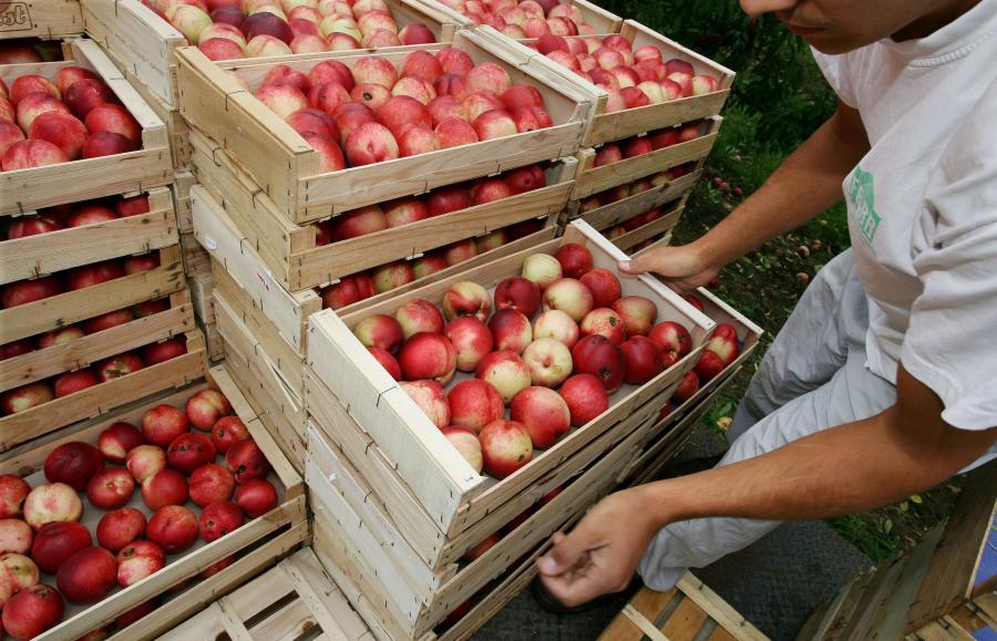 Zbiory nektarynek w sadzie w Lusignan-Petit, niedaleko Agen (Francja). Fot. Bloomberg