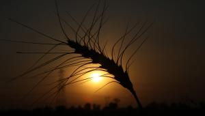 Najlepsze zdjęcie 2011 r. z agencji Bloomberg: Kłos pszenicy na tle zachodzącego słońca podczas zbiorów w Sonipat w Indiach - 20 kwietnia 2011 r. fot. Pankaj Nangia/Bloomberg